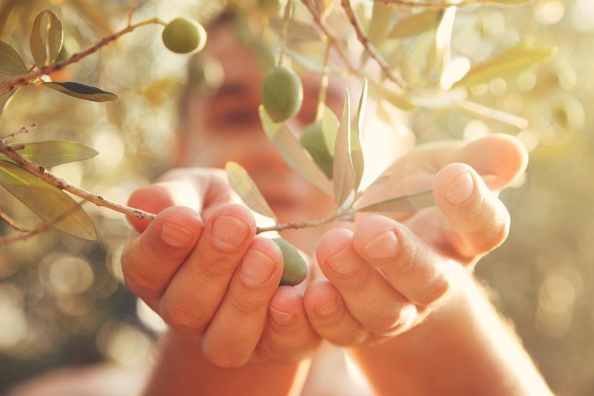 frutos de oliva